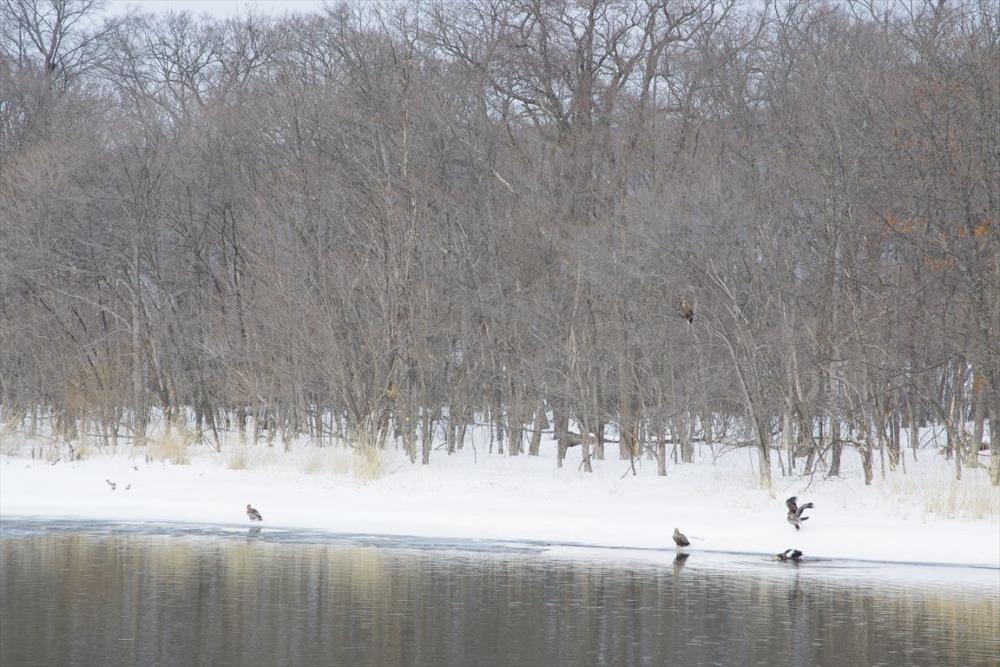 網走湖のオオワシとオジロワシ